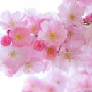Hangi Çiçek Renkleri Ne Anlama Geliyor?